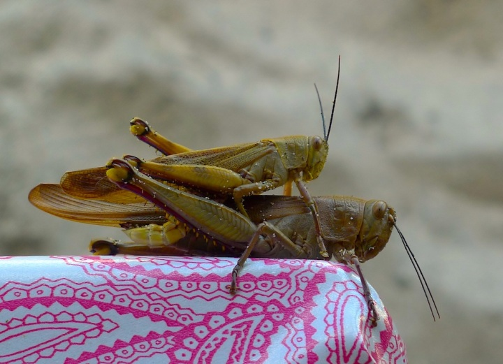 Shagging grasshoppers. You can't get away with that sort of behaviour here. © Roger Garwood 2013